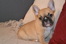 compact,cobby, French Bulldog for Loving Homes