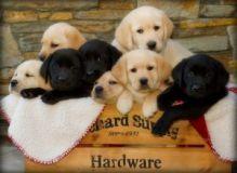 Gorgeous Labrador Retriever Puppies Now Ready For Adoption