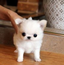 Male Teacup Pomeranian Puppies