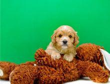 Marvelous Cavapoo Puppies for adoption