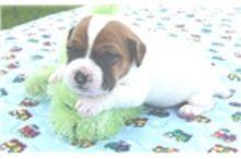 Trained Jack Russell Terrier Puppies available