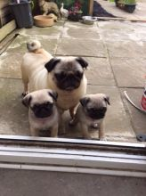 Very Sweet Charming Pug Puppies