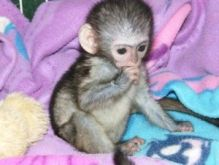 Charming Capuchin Monkeys Available