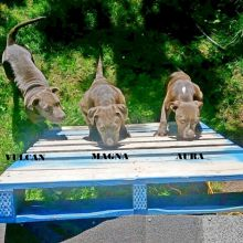 American Bully Puppies - ABKC & UKC Registered Bluenose Puppies
