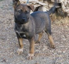 Awesome Belgian Malinois Puppies Available