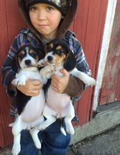 Male and Female C.K.C Beagle Puppies For Adoption
