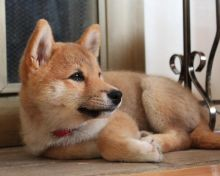 ASTONISHING Shiba Inu Puppies For Adoption