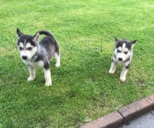 Healthy Male/Female Siberian Husky puppies looking for a good home