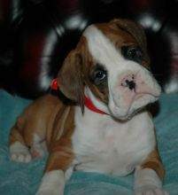 Adorable Female Boxer Needs A Loving Home (254) 300 7865