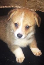 Male/Female Pembroke Welsh Corgi puppies for Re-homing