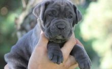 Male and Female Neapolitan Mastiff Puppies Ready For Good and Lovely Families-Text on 204 -817-5731