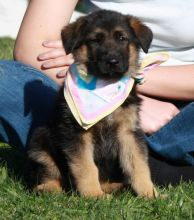 Potty Trained and Gorgeous German Shepherd- Male & Female Pups Ready For Sale-text on (204 -817-5731