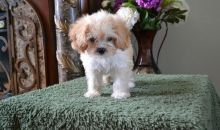 Super Perfect Cavachon Puppies Ready For Good Homes- Male & Female-Text me on ( 204 -817-5731 )
