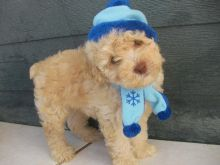 Pure bred Toy Poodle Puppies.
