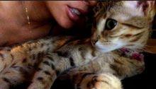 Savannah F4 kitten
