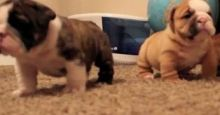 AKC registered English Bulldog puppies ,male and female ***