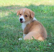 CHARMING C.K.C Pembroke Welsh Corgi Puppies For Adoption