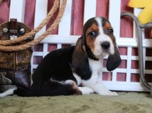 C.K.C REGISTERED MALE & FEMALE BASSET HOUND PUPS FOR ADOPTION