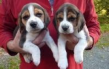 Nice and Healthy C.KC. Beagle Puppies For Adoption