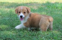 CHARMING C.K.C Pembroke Welsh Corgi Puppies For Adoption Image eClassifieds4u 2