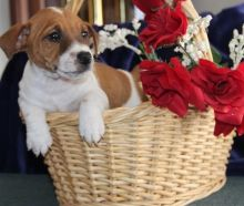 Gorgeous Jack Russell Puppies Image eClassifieds4U