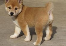 FANTASTIC C.K.C SHIBA INU PUPPIES AVAILABLE FOR ADOPTION