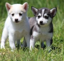 Quebec Alaskan Klee Kai Dogs Puppies For Sale Classifieds At