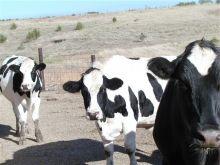 Hiefer For Sale (Bottle milk Calves , pregnants cow )