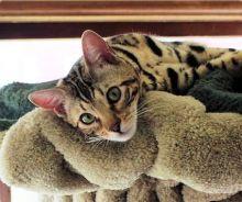 cutest ever savannah kittens ready to go now