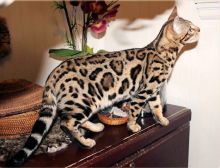 Savannah Kittens for Re-homing
