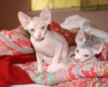 T.I.C.A Hairless Sphynx Kittens Now Ready For Adoption