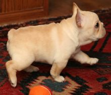 Affectionate C.K.C French Bulldog Puppies For Adoption