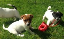 BRILLIANT JACK RUSSELL TERRIER PUPPIES NOW READY FOR ADOPTION