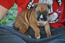Fantastic C.K.C Male/Female Boxer Puppies Now Ready For Adoption