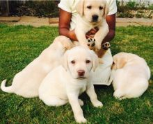 C.K.C Male/Female Labrador Retriever Puppies For Adoption