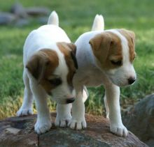 Jack Russell Terrier puppies Image eClassifieds4U