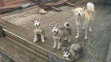 CHARMING C.K.C ALASKAN MALAMUTE PUPPIES FOR ADOPTION