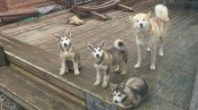 CHARMING C.K.C ALASKAN MALAMUTE PUPPIES FOR ADOPTION