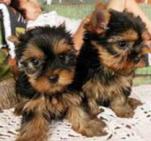 Male & Female Yorkshire Terrier Puppies Available For Adoption