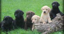 Cute Labs Ready now for Adoption and Rehoming