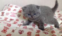 Lovely British Shorthair Kitten