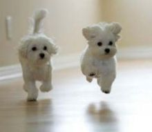 Cute and adorable home trained Maltese puppies