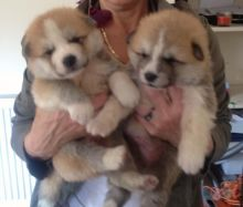 ASTONISHING male and female Akita Inu Puppies For Adoption