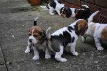 Tri Coloured Beagles Puppies Available Now