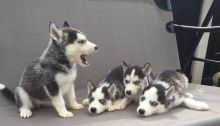 FANTASTIC BLUE EYES SIBERIAN HUSKY PUPPIES FOR ADOPTION