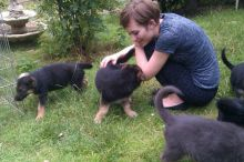 C.K.C Male/Female GERMAN SHEPHERD Puppies For Adoption