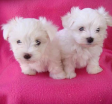 TWO HEALTHY C.K.C MALTESE PUPPIES NOW READY FOR ADOPTION