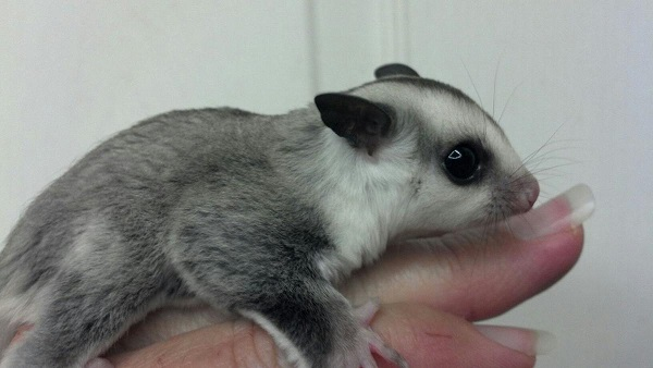 4 sugar glider with cage Image eClassifieds4u