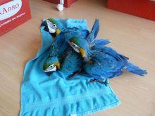 Magnificent Parrots Available Image eClassifieds4U