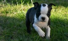 ★CHARMING BOSTON TERRIER PUPPIES NOW READY FOR ADOPTION★